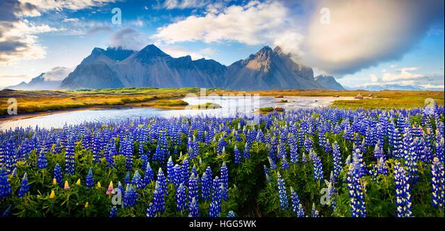 Panorama of Blooming lupine flowers on the Stokksnes headland on southeastern Icelandic coast. Iceland, Europe. - Stock Image