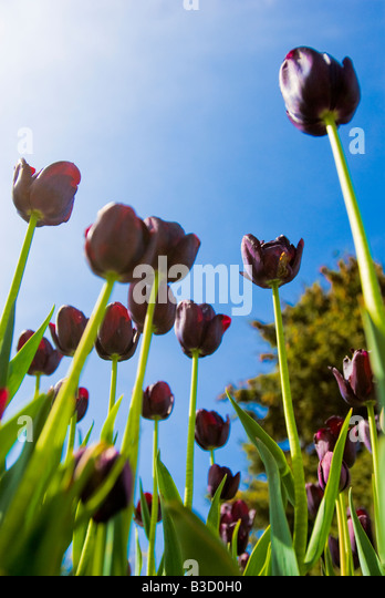 Purple tulips in field - Stock Image