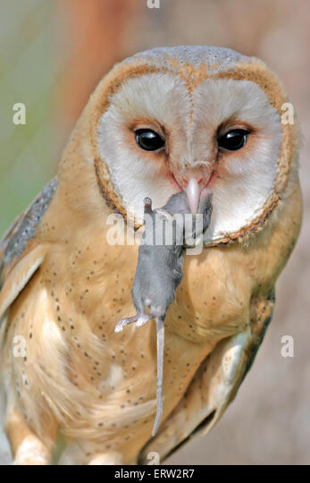 Barn Owl holding mouse in beak, portrait closeup - Stock Image