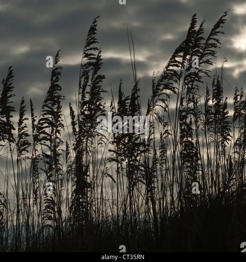 Phragmites, Reeds, Sedge - Stock Image