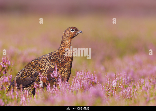 Red grouse Lagopus lagopus scoticus  Profile of an adult in a sea of flowering heather  Yorkshire Dales National - Stock-Bilder