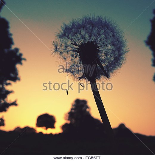 Close-Up Of Dandelion Against Sky During Sunset - Stock-Bilder