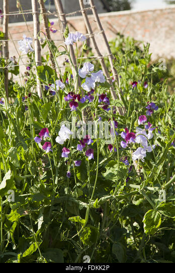 how to grow sweet peas in a wigwam