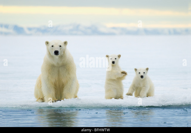Polar bear mother (Ursus maritimus) and twin cubs of the year hunting on the pack ice, Svalbard Archipelago, Arctic - Stock-Bilder