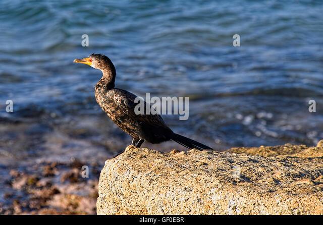 Cormorant - Stock Image