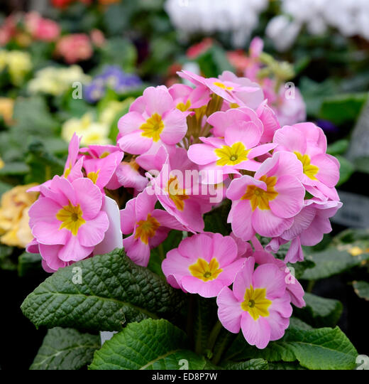 Pink pansy flowers in a small grouping. - Stock Image