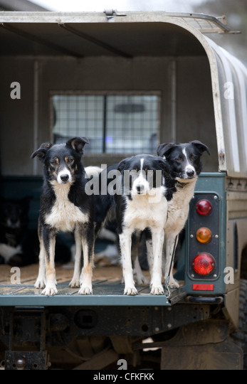 Working sheep dogs in the back of a farm Land Rover - Stock Image