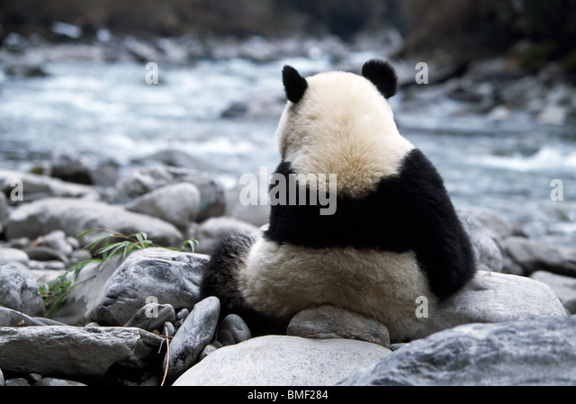 Giant panda on riverbank, Sichuan, China - Stock Image