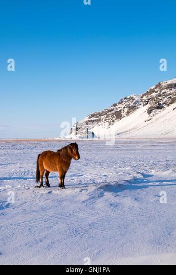 Icelandic horse in winter backed by dramatic Icelandic scenery. - Stock Image