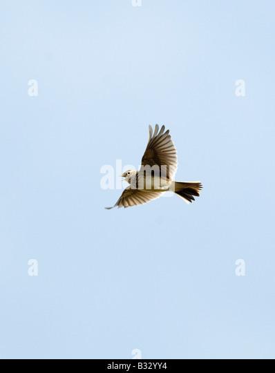 Skylark Alauda arvensis in song flight Norfolk April - Stock Image
