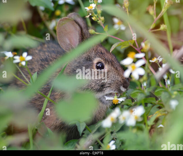 Wild Rabbit Eating A Flower - Stock Image