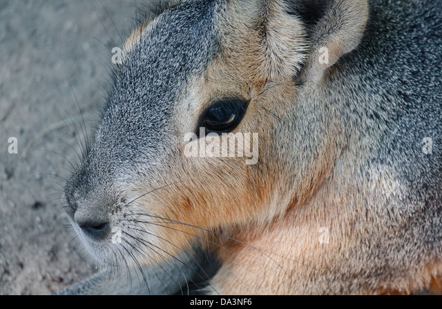 Closeup on captive Patagonian Cavy in profile - Stock Image