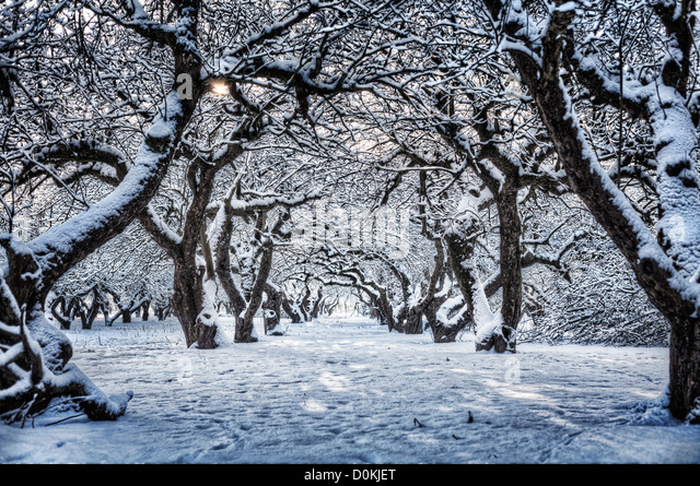 A line of snow covered trees in an orchard. - Stock Image