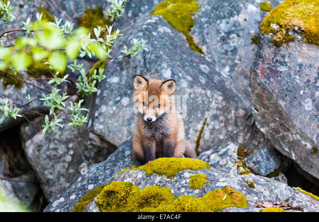 Redfox puppy, Vulpes vulpes, looking out from his nest, Kvikkjokk, Swedish lapland, Sweden - Stock Image