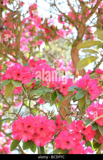 beautiful rhododendron bush blush pink and red blooms fine art photography Jane Ann Butler Photography JABP436 - Stock Image