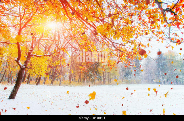 October mountain beech forest with first winter snow. - Stock Image