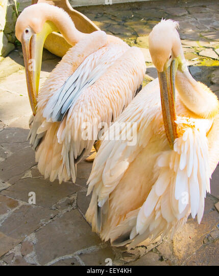Two pink pelicans Pelecanus onocrotalus standing, live in Eurasia and Africa. - Stock Image