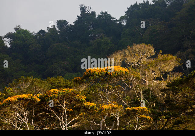 Flowering May Trees in Altos de Campana national park, Republic of Panama. - Stock-Bilder