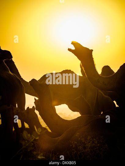 Camel bellows silhoutted at sunset at Pushkar Camel Fair, Pushkar India - Stock-Bilder