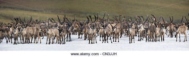 Caribou bulls, Arctic National Wildlife Refuge, Alaska - Stock-Bilder