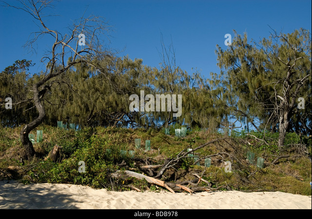 Saplings replanted on foreshore dunes after storm damage , Queensland , Australia - Stock Image