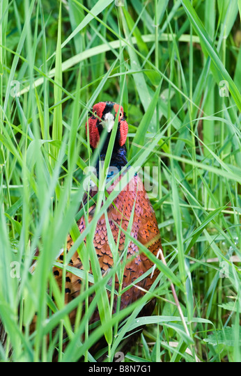 Pheasant Phasianus colchius Norfolk summer - Stock-Bilder