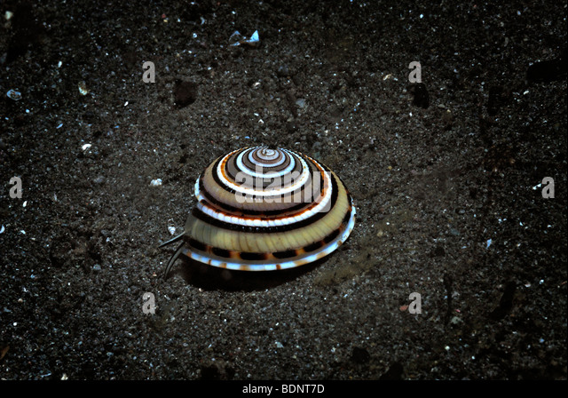 Perspective Sundial Shell (Architectonica perspectiva), Komodo National Park, Indonesia, Southeast Asia - Stock Image