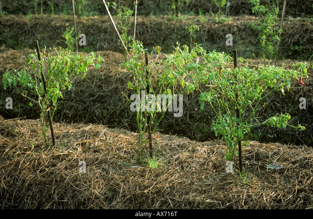 Chilli peppers killed by chilli mosaic virus Malaysia - Stock Image