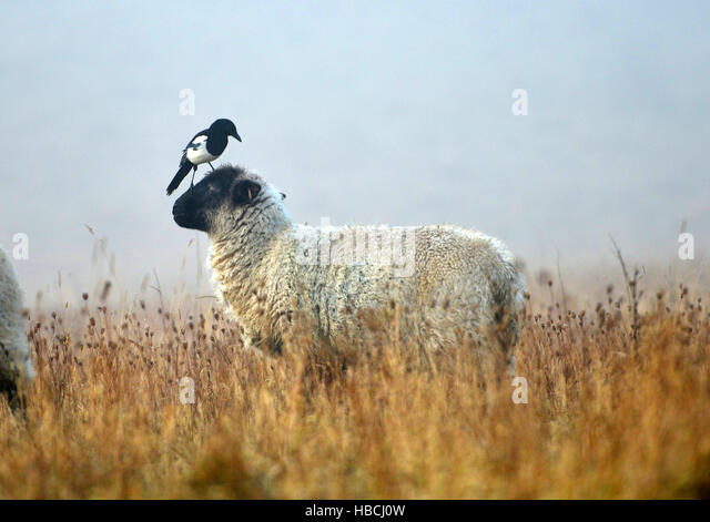 Sheep groomed by magpie, South Downs National Park, East Sussex. - Stock Image
