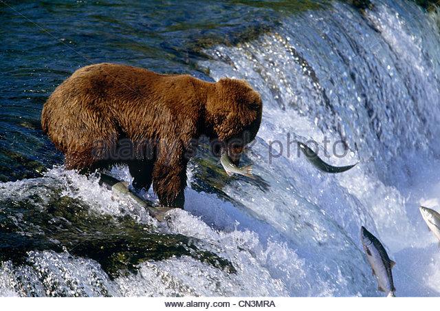 Brown bear catching salmon at Brooks Falls, Katmai National Park, Alaska - Stock Image