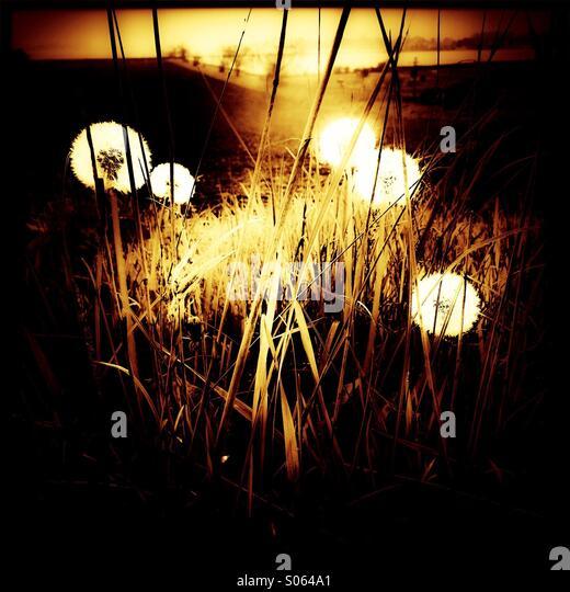 Dandelion seed heads - Stock-Bilder