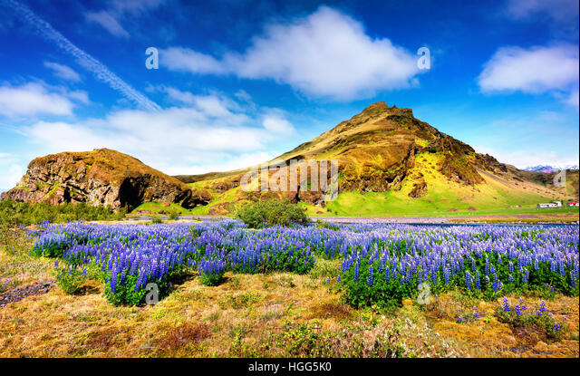 Typical Icelandic landscape with field of blooming lupine flowers in the June.Sunny summer morning in the south - Stock Image