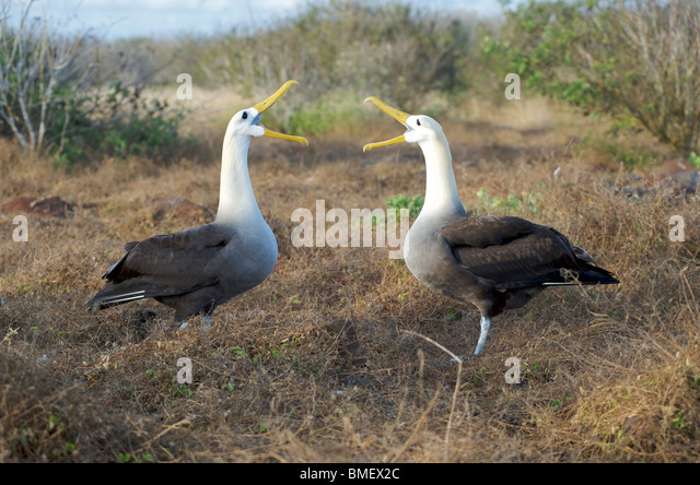 Waved Albatross birds.  Pair at nest seen in courtship ritual display.  Espanola Island, Galapagos Islands, Pacific. - Stock Image
