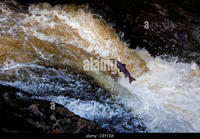 Wild  Salmon leap up the natural salmon leap and waterfall to return to their spawning grounds on the River Almond, - Stock Image