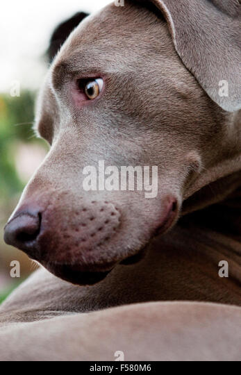 extreme closeup portrait of Weimaraner dog head in profile looking back behind. Graphic strong brow muzzle jaw line - Stock Image