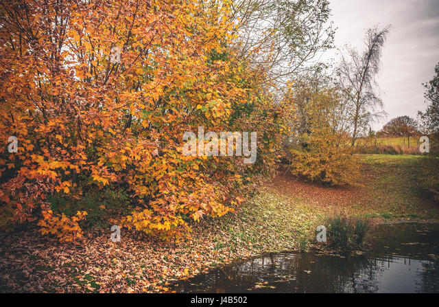 Colorful trees in autumn colors by a lake in the fall with fallen leaves covering the ground in autumn - Stock Image