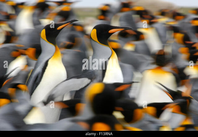 King penguins (Aptenodytes patagonicus) colony, Antarctica - Stock Image