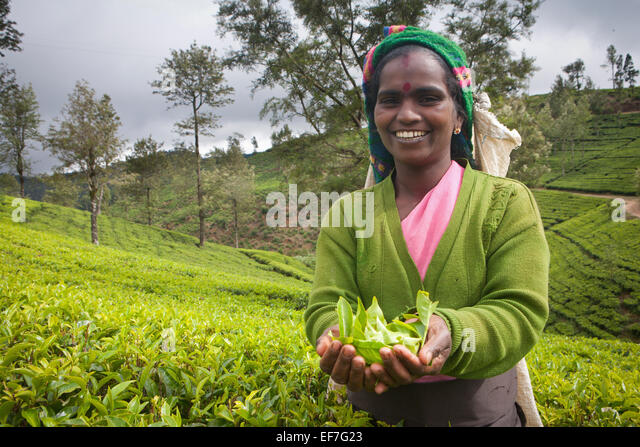 TEA PICKER AT WORK IN PLANTATION - Stock Image