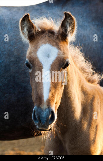 Lusitano horse, foal, Andalusia, Spain - Stock Image