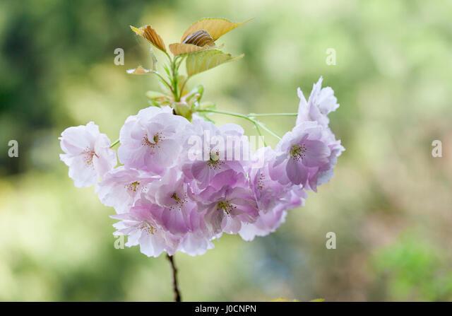 Prunus Hokusai close up, Japanese flowering cherry tree blossom, UK - Stock Image