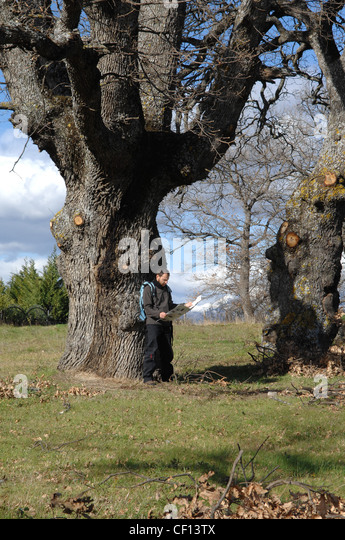 old oak tree in San Martino d'Agri Lucanian Apennine National Park Italy - Stock Image