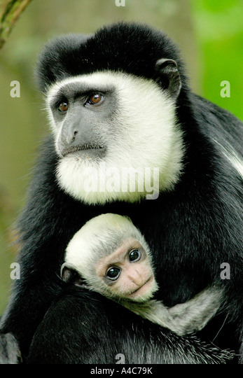 King Colobus, Western Pied Colobus (Colobus polykomos), mother with young. - Stock Image