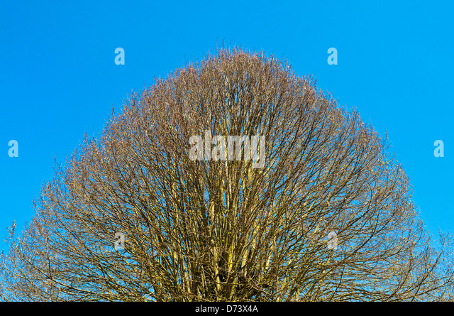 Shaped tree - France. - Stock Image