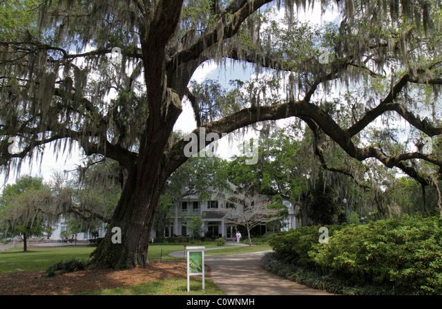 Orlando Florida Harry P. Leu Gardens live oak tree Spanish moss - Stock Image