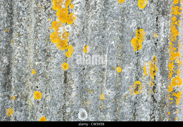 Close-up shot of a section of a sheet of corrugated asbestos complete with lichen - Stock Image