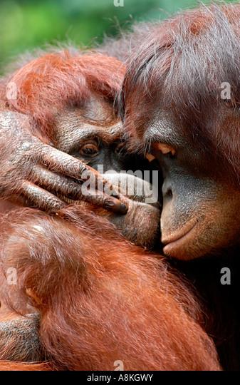 Two orangutan hugging - Stock Image