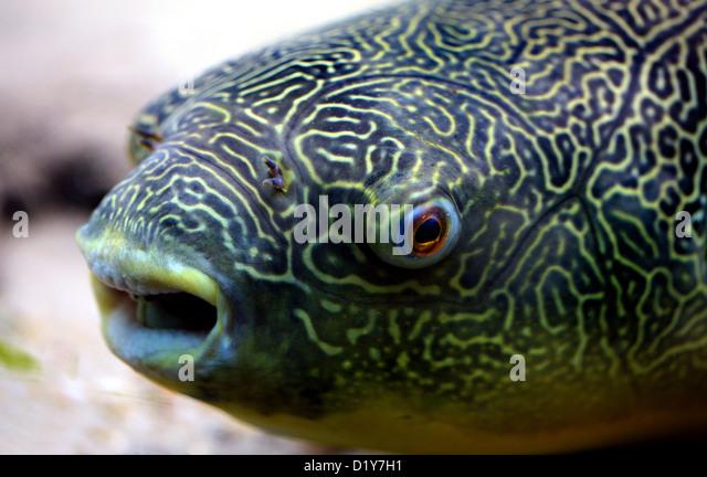 Mbu Puffer, Giant Puffer or Giant Freshwater Puffer fish, Tetraodon mbu, Tetraodontidae. Aka Congo River Puffer - Stock-Bilder