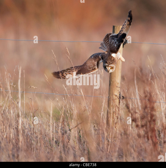 Wild Short Eared Owl swooping down onto prey in Leicestershire - Stock Image