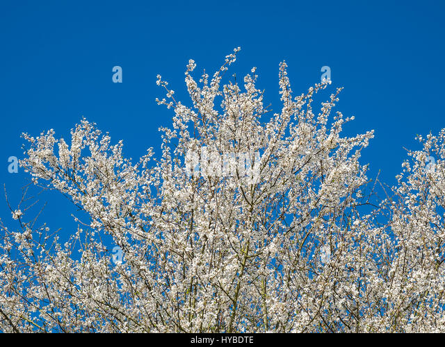 White blossom on Mirabelle tree, France. - Stock Image