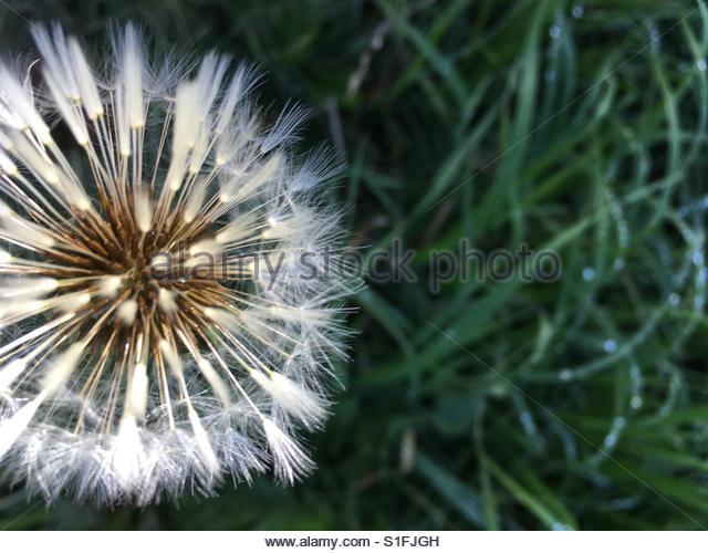 a closeup of a Dandelion - Stock Image